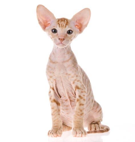 Tutto sulla razza di gatto Peterbald