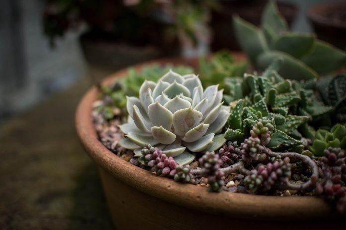Come creare una disposizione succulenta per la tua casa