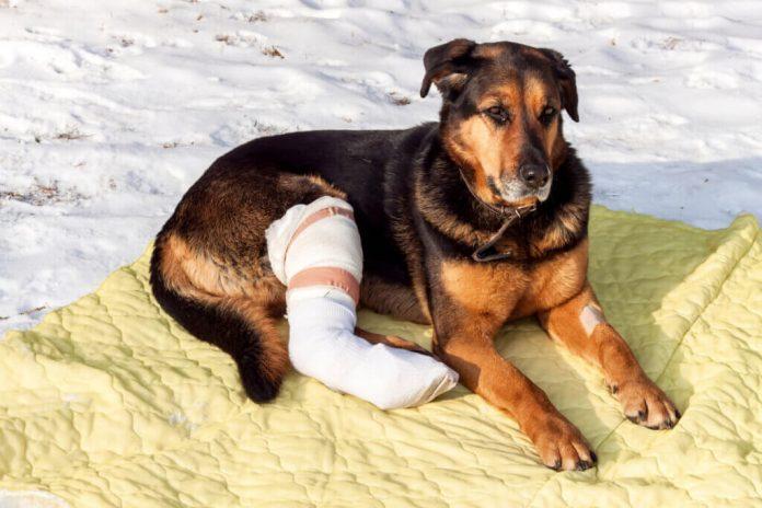 Come prendersi cura del proprio animale domestico dopo lintervento chirurgico