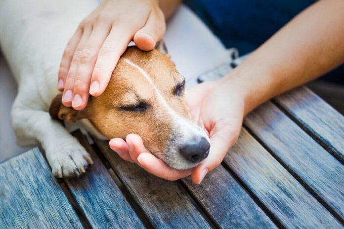 Cosè il cimurro canino e felino e come trattarlo