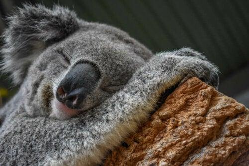 Il Koala è un maestro nelladattamento allambiente