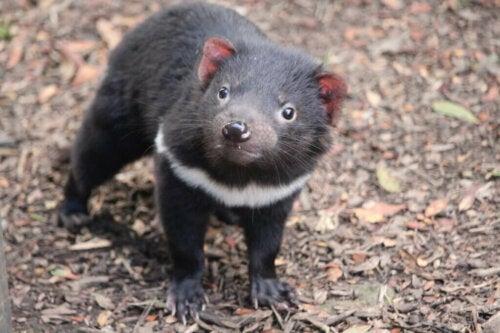 Il diavolo della Tasmania ritorna nellAustralia continentale