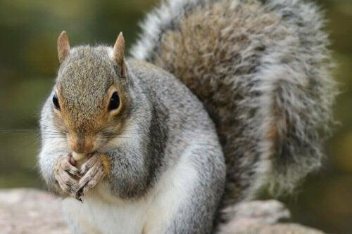 Il ruolo dello scoiattolo grigio nelle foreste