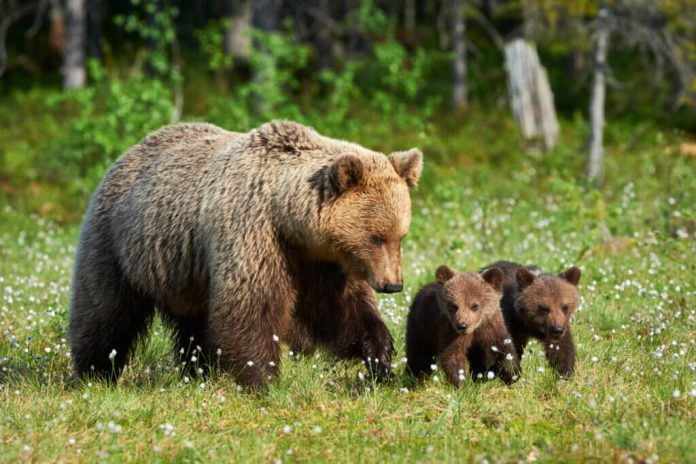 In che modo gli orsi si prendono cura dei loro