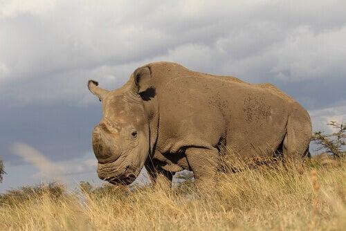 Lultimo rinoceronte bianco settentrionale maschio muore