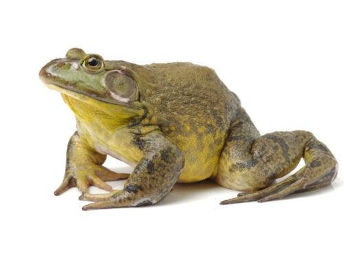 La rana toro americana perché non è adatto essere un