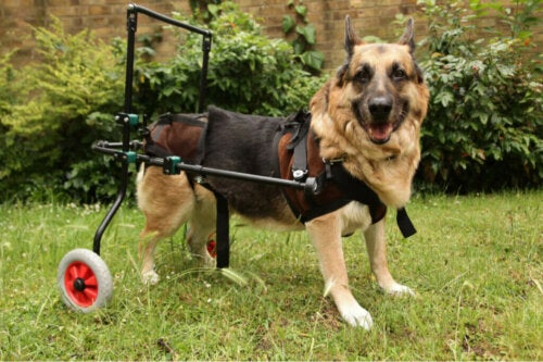 Malattie autoimmuni nei cani cosa sapere