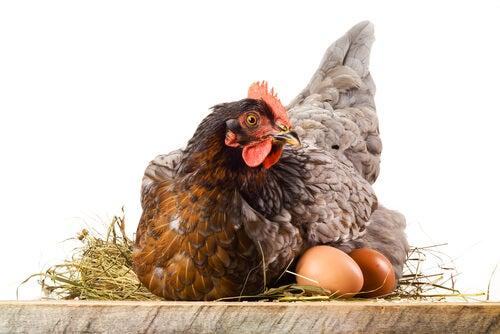 Perché le galline mangiano le uova