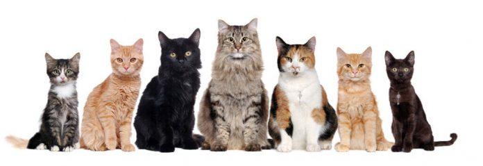 Quante razze di gatti domestici ci sono