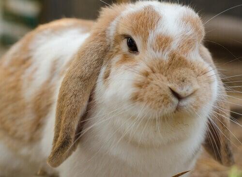 Quanti tipi di conigli domestici esistono