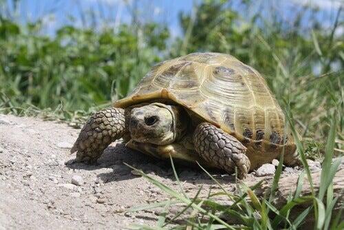 Tutto quello che vuoi sapere sulla tartaruga russa