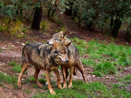 Tutto sul lupo iberico