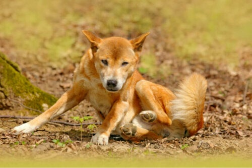 Il cane da canto della Nuova Guinea non è estinto